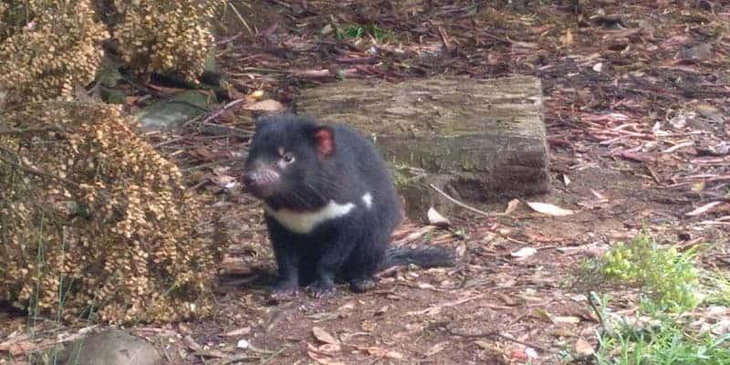 demonio-de-tasmania-2
