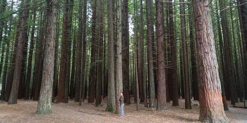redwoods-nueva-zelanda-bycamper