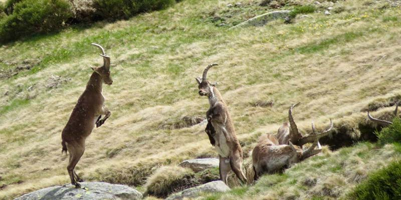 cabras montesas