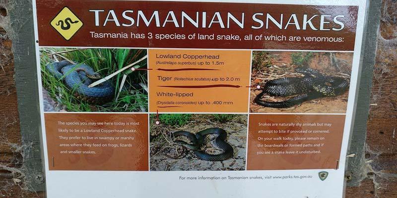 serpientes-de-tasmania