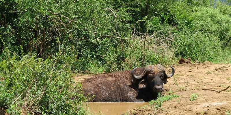 bufalo - iimfolozi natural park