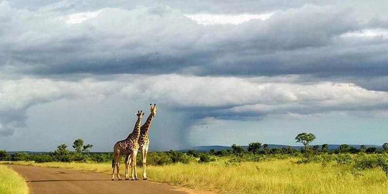 girafas en kruger national park