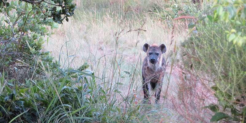hiena - isimangaliso wetland park